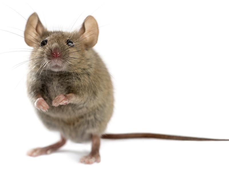 Pest Control: Mice Vs. Rats