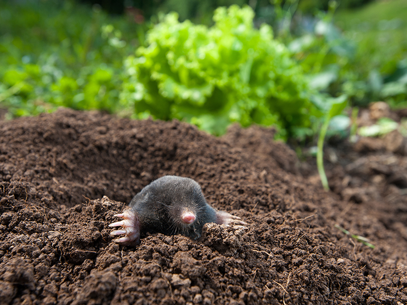Garden mole repellent and solutions